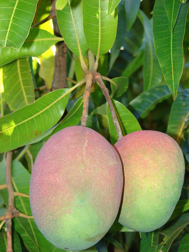 Cây xoài,quả xoài,mango,Mangifera