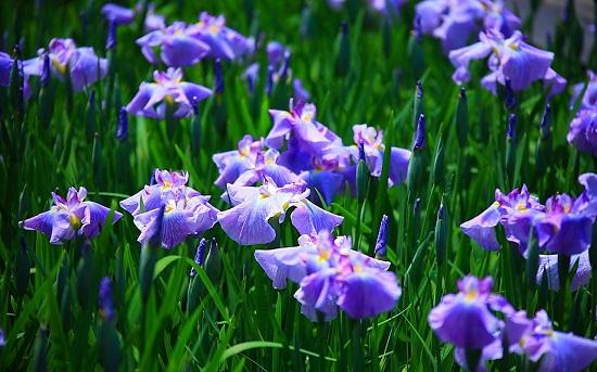 Hoa diên vĩ - iris