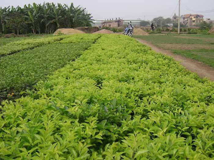 cung cấp cây Chuỗi Ngọc,cây cảnh,mua bán cây cảnh,hoa cảnh,sinh vật cảnh,hòn non bộ,Toàn quốc