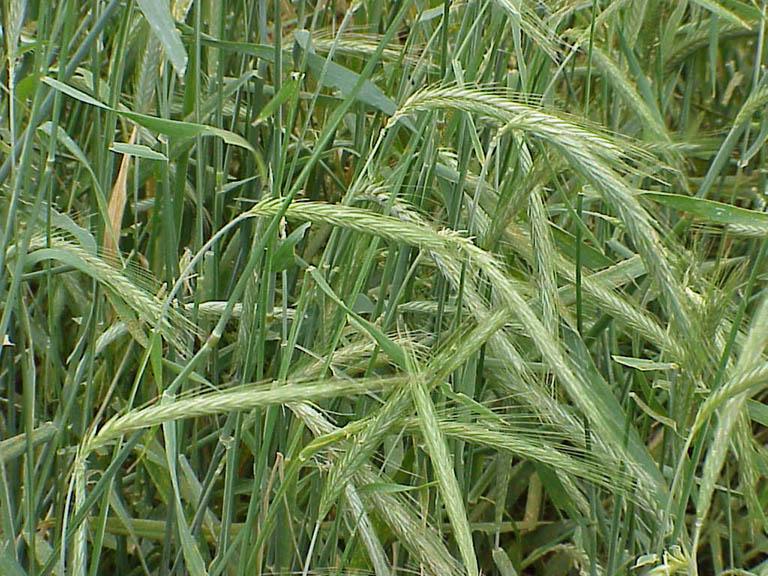 Lúa mạch đen,hắc mạch,bo bo,bobo,secale cereale,rye,cây ngũ cốc,cây lương thực,họ hòa thảo,họ lúa,họ cỏ,poaceae