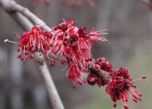 Cây Phong,Cây phong,phong,cay phong,cây gỗ thích,Acer,Aceraceae,Hippocastanaceae,chi phong,họ phong,họ dẻ ngựa,cây bảy lá,lộc đồng,họ bồ hòn,Sapindaceae,Sapindaceae