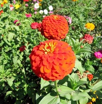 Hoa Duyên cúc,Hoa duyên cúc,hoa ngũ sắc,hoa cánh giấy,hoa cúc,Zinnia elegans Jacq,Asteraceae,mexico