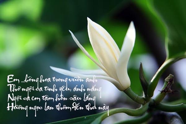 Hoa cây Ngọc lan tỏa hương dịu dàng khi nở