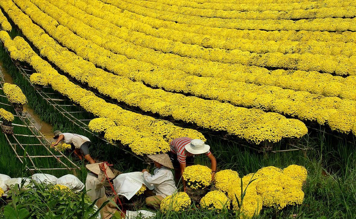 Cúc mâm xôi,Cúc mâm xôi,hoa cúc mâm xôi,hoa cúc,Chrysanthemum morifolium,họ Cúc,Asteraceae