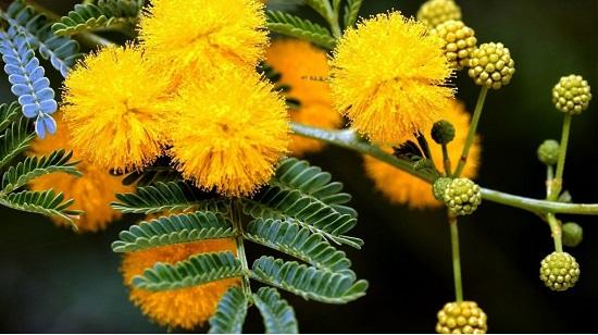 Hoa Mimosa