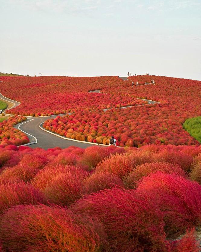 Thiên đường hoa ở công viên Hitachi Seaside
