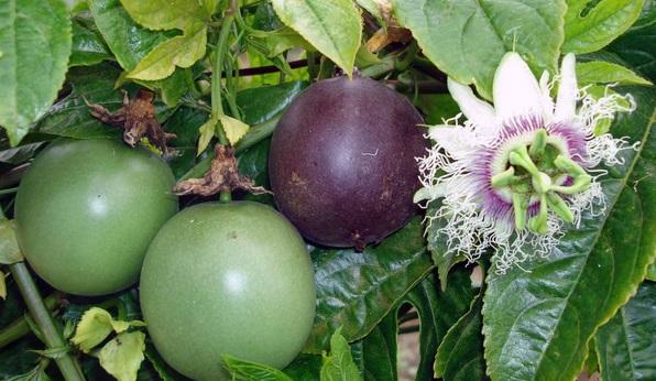 Chanh dây,chanh leo,chùm bao trứng,cây mắc mát,cây mát mát,lạc tiên,cây chanh,quả chanh,Passiflora incarnata,Passiflora edulis,Passiflora