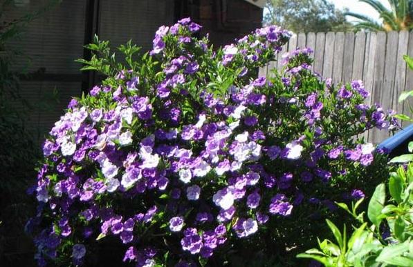 Nhài Nhật mang 2 màu hoa trên một cây tỏa hương thoang thoảng