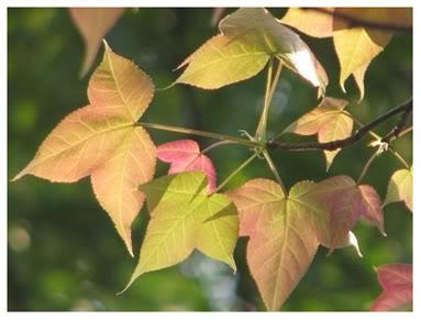Lá cây phong ở Huế