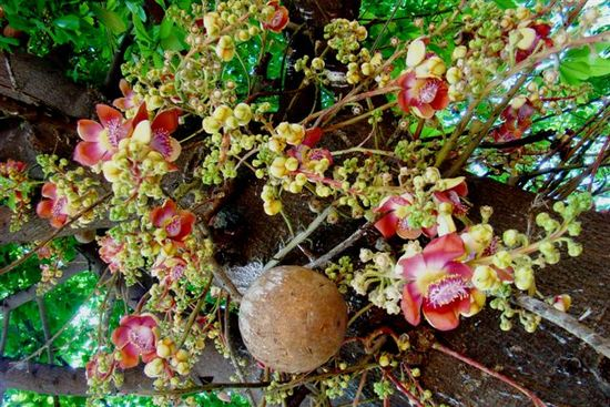 Cây sala,Sa La,sala,cay sala,cây ngọc kỳ lân,cay ngoc ky lan,cây đầu lân,cây hàm rồng,cây sala,Couroupita guianensis