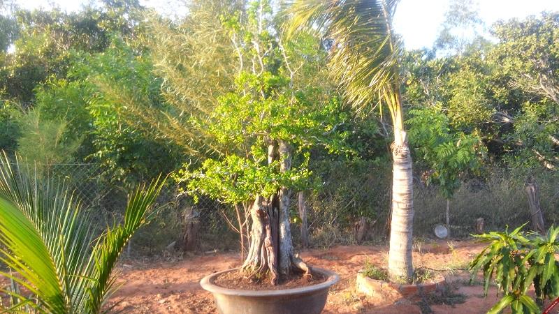 bán cây trắc,bán bộ trắc tam tài thuận buồm xuôi gió,cây cảnh,mua bán cây cảnh,hoa cảnh,sinh vật cảnh,hòn non bộ,Toàn quốc