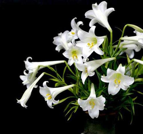 Hoa loa kèn,huệ tây,hoa huệ tây,hoa bách hợp,ý nghĩa hoa loa kèn,truyền thuyết hoa loa kèn,Lilium longiflorum,Lilium