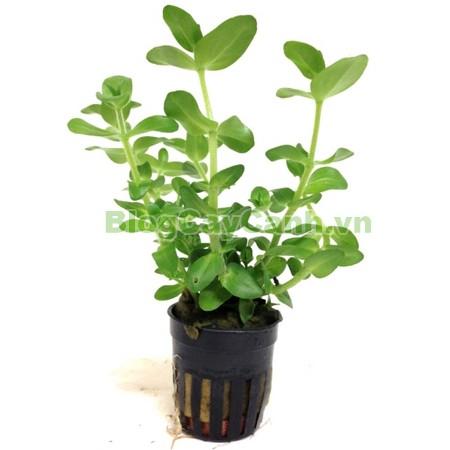 Cây Lệ Nhi,cây lệ nhi, hình ảnh cây lệ nhi, cay le nhi,cây lệ nhi trồng trong nước, Bacopa caroliniana, cây lệ nhi cây thủy sinh, cây thủy sinh đẹp,