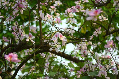 Hoa ban,hoa ban trắng,hoa ban tím,hoa ban hồng,hoa móng bò sọc,hoa ban tây bắc,hoa ban trắng tây bắc,chuyện tình hoa ban