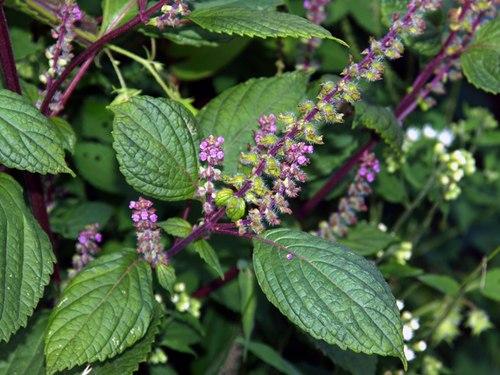 Hương nhu,hương nhu trắng,hương nhu tía,cây é,tác dụng của hương nhu,bài thuốc từ hương nhu,Ocimum tenuiflorum,Ocimum sanctum,họ hoa môi,Lamiaceae