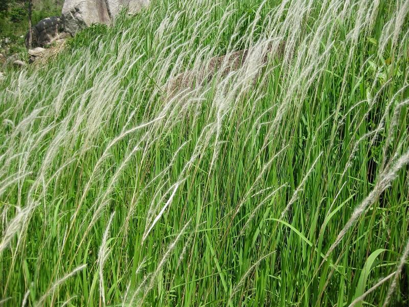 Cỏ tranh,bạch mao,bài thuốc từ rễ cỏ tranh,Imperata cylindrica,Imperata cylindrica (L.) Beauv,họ Lúa,poaceae,bài thuốc từ cỏ tranh,tác dụng của cỏ tranh