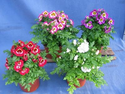 Hoa nga điệp,hoa đẹp,hoa Đà Lạt,Schizanthus