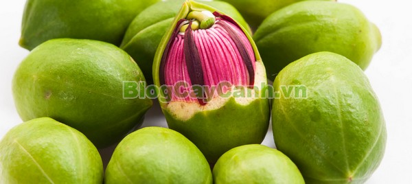 Cây Bần Chua (Cây Bần Sẻ),cây bần chua, cây bần sẻ, Sonneratia caseolaris, họ Lythraceae, quả bần, cây bần, bần chua, công dụng của cây bần chua, tác dụng của cây bần chua, cay ban chua,