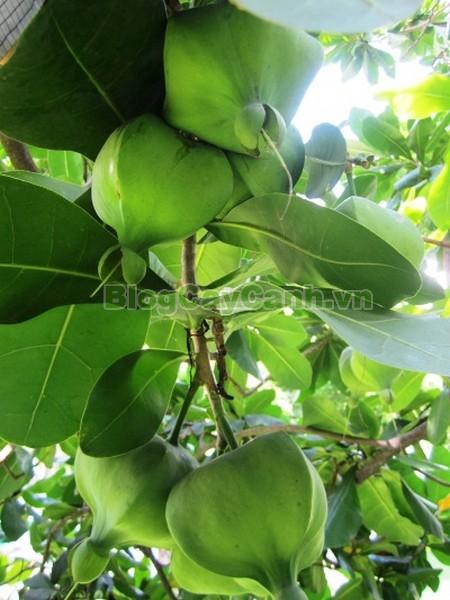 Cây Bàng Vuông,cây bàng vuông,Lecythidales, họ lộc vừng, họ Lecythidaceae, Mammea asiatica L., cây bàng trường sa, cay bang vuong, cây bàng bí, Barringtonia asiatica (L.) Kurz, cây chiếc bàng,