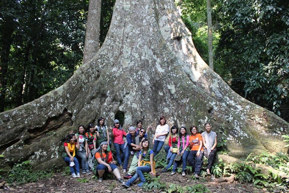 Cây sấu cổ thụ ở Cúc Phương - Ninh Bình