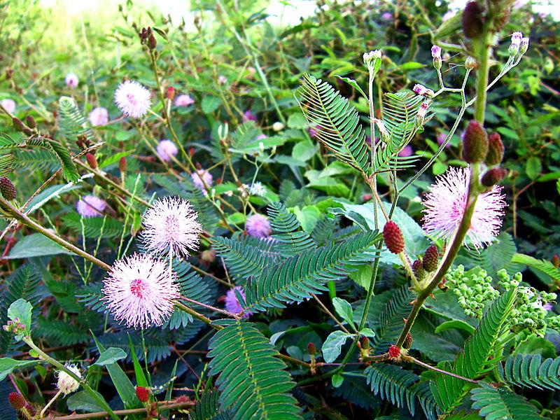 Cỏ trinh nữ,trinh nữ,cây trinh nữ,cây xấu hổ,cây mắc cỡ,cây thẹn thùng,hàm tu thảo,mimosa pudica
