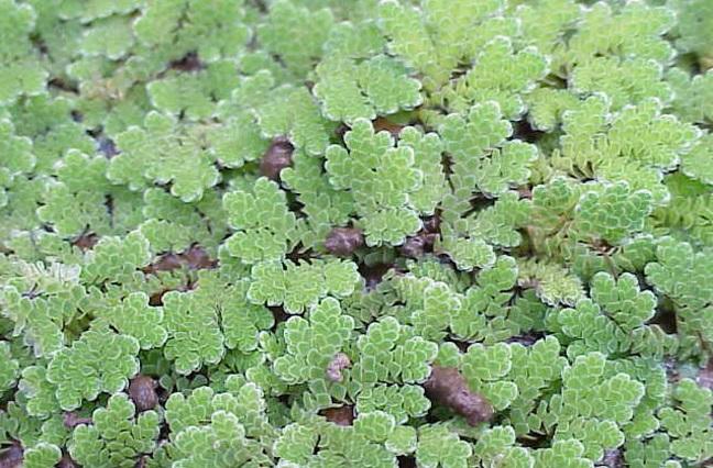 Bèo hoa dâu,Azolla caroliniana,Azollaceae,Azolla,cây thủy sinh