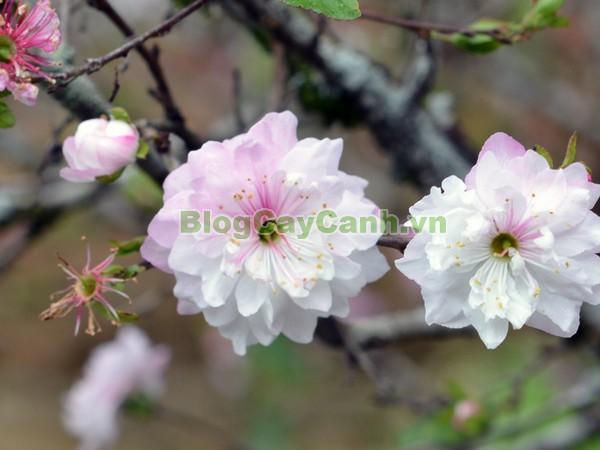 Cây Nhất Chi Mai (Cây Mai Trắng),cây nhất chi mai, họ hoa hồng, Prunus mume Sieb. & Zucc,cây bạch mai, cây hàn mai, cây lưỡng nhị mai, cây nhị độ mai, cây mai trắng, hình ảnh cây nhất chi mai, cây nhất chi mai chữa bệnh, cây nhất chi mai chơi tết, cây mai trắng,