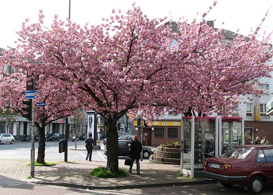 Hoa anh đào hồng ở Aachen, Đức