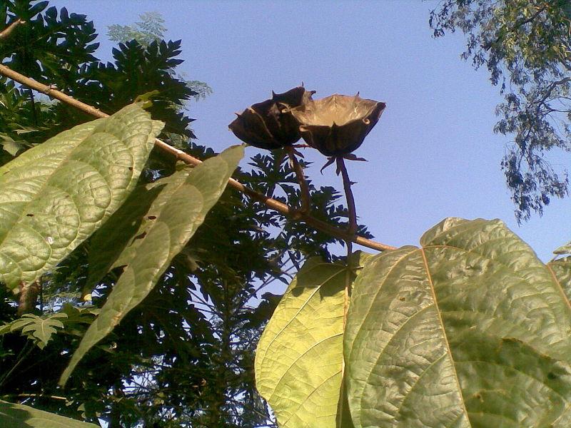 Cây tai mèo,tai mèo,cây bất thực,Abroma augusta,họ cẩm quỳ,Malvaceae