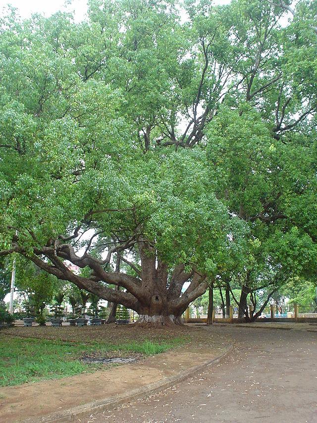 Cây Long Não ở thành phố Buôn Ma Thuột - Việt Nam