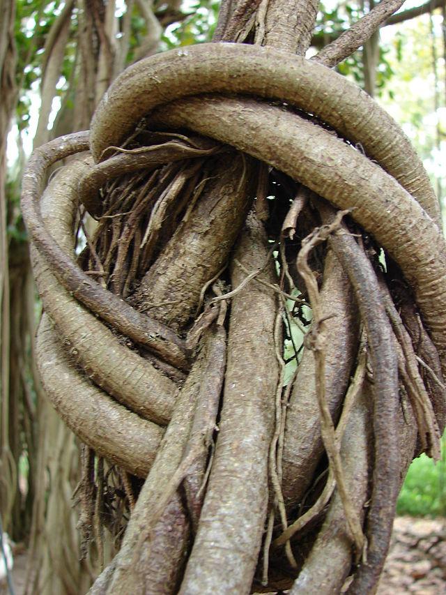 Nhánh và rễ của cây Sanh