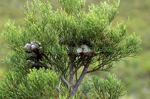 Cây Hoàng Đàn,cây hoàng đàn,Cupressus tonkinensis Silba, hình ảnh cây hoàng đàn, cây hoàng đàn mọc tự nhiên, Cupressus tonkinensis D. Don, cay hoang dan, họ trắc bách diệp, họ Cupressaceae, tinh dầu hoàng đàn, gỗ hoàng đàn, tinh dầu cây hoàng đàn,