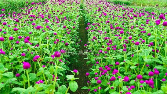 Hoa cúc Bách Nhật
