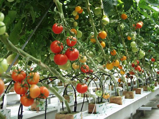 Cà chua,cây cà chua,họ bạch anh,tomato,Solanum lycopersicum,Lycopersicon lycopersicum (L.) H. Karst,Lycopersicon esculentum Mill,cây thực phẩm,cây ăn quả