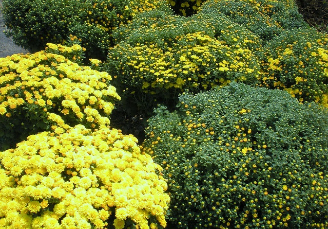 Cúc mâm xôi,hoa cúc mâm xôi,hoa cúc,Chrysanthemum morifolium,họ Cúc,Asteraceae