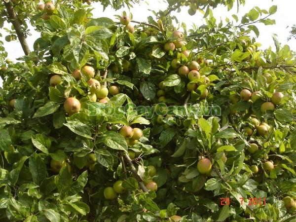 Cây Táo Mèo (Cây chua chát),cây táo mèo, cây chua chát, cay tao meo, Docynia indica, chi Táo mèo, chi docynia, họ Hoa hồng, họ Rosaceae, cây sơn trà,