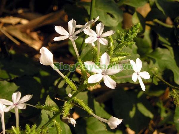 Cây Bạch Hoa Xà,cây bạch hoa xà, công dụng cây bạch hoa xà, tác dụng chữa bệnh của cây bạch hoa xà, cay bach hoa xa, Plumbago zeylanica L., họ Đuôi công, Plumbaginaceae, cây bạch tuyết hoa, cây Chiến, cây Đuôi công,