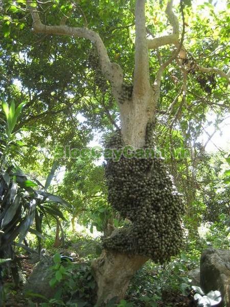Cây Dâu Rừng,cây dâu da đất, cây dâu đất, cây dâu da, cây đỏ,Baccaurea sapida, thuộc họ Thầu dầu, họ Ba mãnh vỏ,Euphobiaceae, bộ Ba mãnh vỏ, họ Euphobiales,
