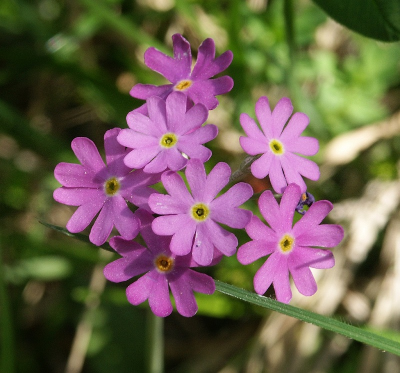 Chi anh thảo,chi báo xuân,Primula,Primulaceae,chi tai gấu,các loài anh thảo