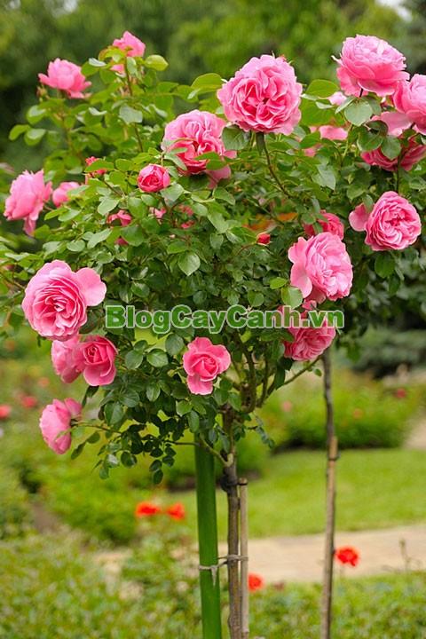 Cây Hoa Hồng Thân Gỗ - Tree Rose,Cây Hoa Hồng Thân Gỗ, tree rose, cây hoa hồng cổ, cây hồng cổ, rose, cây tết, cây tết 2017, cây hồng thân gỗ, hoa hồng thân gỗ, hồng cổ Sapa, cây hoa hồng Sapa,cây hoa chơi tết,