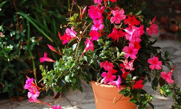 Mầu hoa đỏ nổi bật trên nền lá xanh thẫm