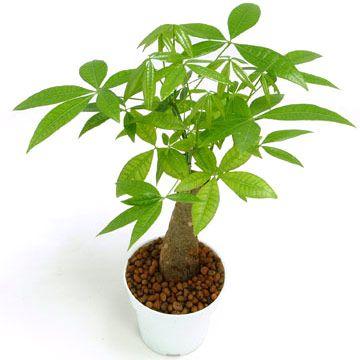 Kim ngân,cây kim ngân,cây bím tóc,Pachira aquatica,Money tree,cây may mắn,Malvaceae,cây phong thủy,cây nội thất,cây ngày Tết