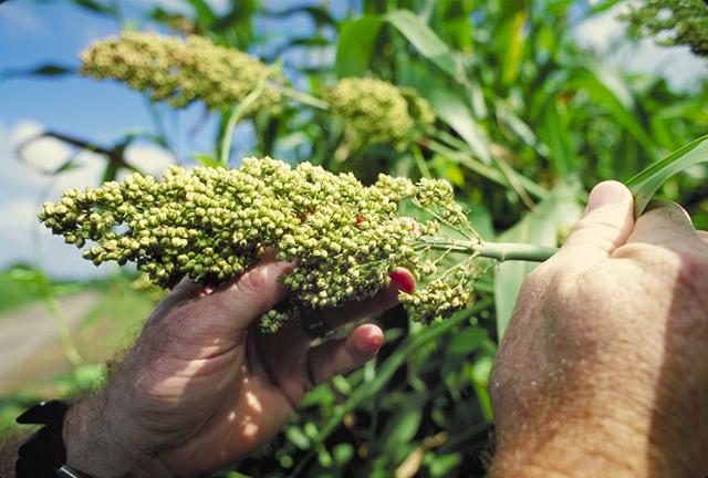 Cao lương,lúa miến,Sorghum,Sorghum bicolor,họ hòa thảo,họ lúa,họ cỏ,Poaceae,Gramineae
