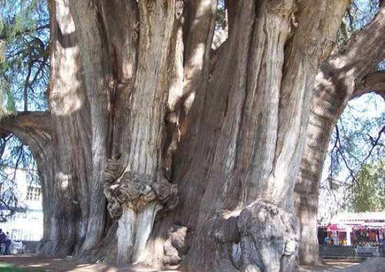 Cây Tule (Mexico),cây nhiều tuổi nhất thế giới