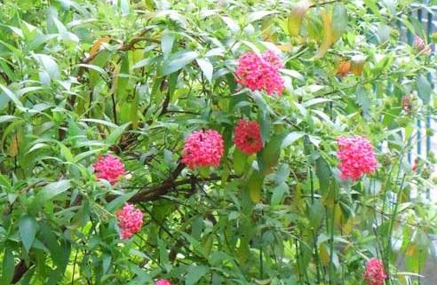 Cây liễu hồng,cay lieu hong,liễu mai,lieu mai,cúc nữ hoàng,cuc nu hoang,rondeletia leucophylla,rubiaceae