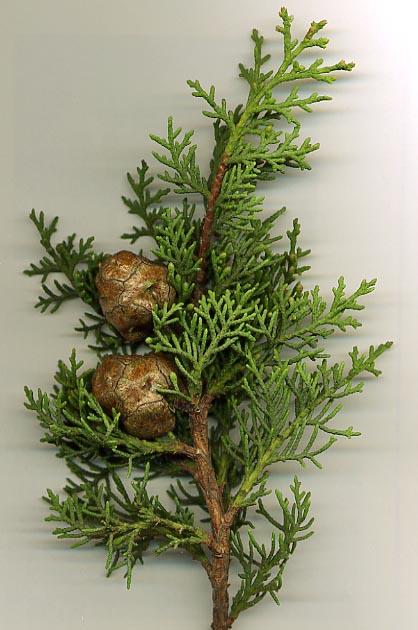 họ hoàng đàn,họ bách,Tán lá và nón của Cupressus sempervirens