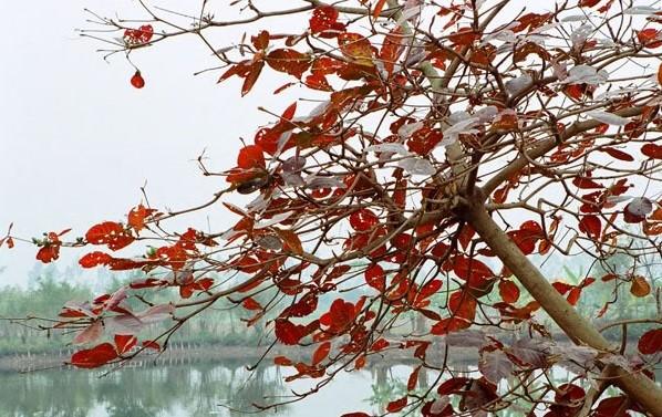 Cây bàng chuyển màu lá đỏ trước khi rụng lá