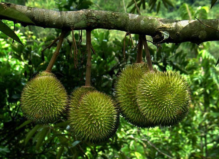 Sầu riêng,Durio,Malvaceae,Durionaceae,cây ăn quả,vua của các loại trái cây,lợi ích của sầu riêng với sức khỏe