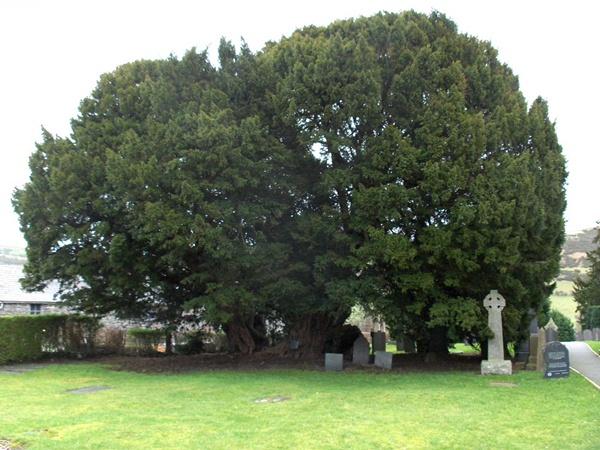 Cây thủy tùng Llangernyw Yew,cây thủy tùng nhiều tuổi nhất thế giới,cây thủy tùng lớn nhất thế giới