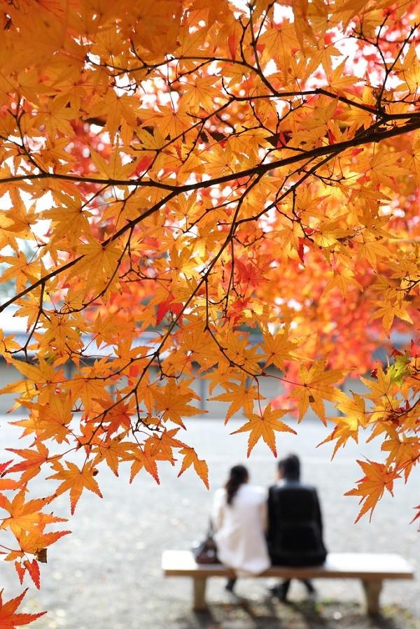 Cây Phong ở Kyoto, Nhật Bản